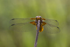 Broad-bodied Chaser. Closeup of a Broad-bodied Chaser dragonfly Royalty Free Stock Images