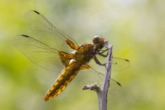 Broad-bodied Chaser. Closeup of a Broad-bodied Chaser dragonfly Royalty Free Stock Image