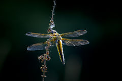 Broad-bodied chaser on a dark background Stock Photos