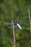 Broad-bodied Chaser. Detail Broad-bodied Chaser relaxing on the stem Stock Photography