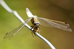 Broad bodied chaser dragonfly Royalty Free Stock Images