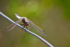 Broad bodied chaser dragonfly Stock Photography