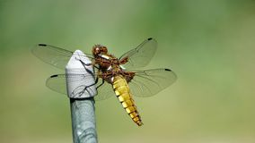 Broad-bodied Chaser dragonfly. Close up of a female broad-bodied chaser, Libellula depressa royalty free stock photos