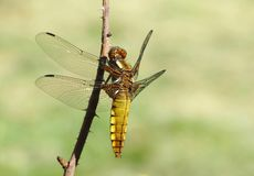 Broad-bodied Chaser dragonfly. Close up of a female broad bodied chaser, Libellula depressa, resting on a twig stock photography