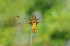 Broad-bodied Chaser dragonfly Royalty Free Stock Images