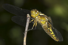 Broad-bodied Chaser dragonfly , female / Libellula depressa Stock Photography