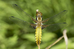 Broad-bodied Chaser dragonfly , female / Libellula depressa Royalty Free Stock Images