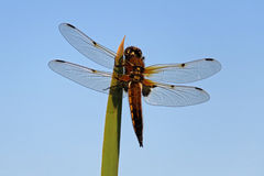 Broad Bodied Chaser Dragonfly. Libellula depressa, Broad Bodied Chaser with blue sky Royalty Free Stock Image