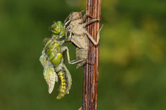 Broad bodied Chaser Dragonfly (Libellula depressa). Broad bodied Chaser Dragonfly (Libellula depressa) emerging from its exuvia Stock Photography