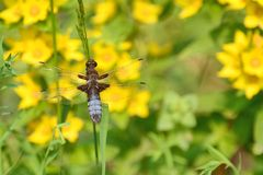 Broad bodied chaser dragonfly, male, blue. Blue, broad bodied male chaser dragonfly on a grass stem. Background of yellow Lysimachia flowers Royalty Free Stock Photo