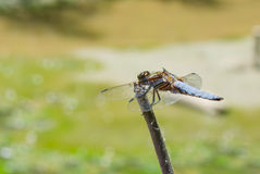 Broad-bodied Chaser dragonfly is ready for fly. From its alternate airfield Royalty Free Stock Photography