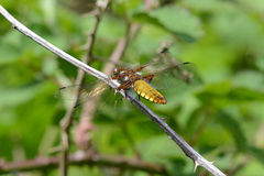 Broad bodied chaser dragonfly Royalty Free Stock Image