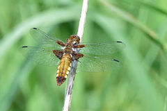 Broad-bodied chaser dragonfly in the Sun. A young female broad-bodied chaser dragonfly is sitting on a plant stem in the Sun Royalty Free Stock Photos