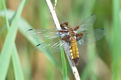 Broad-bodied chaser dragonfly. A young female broad-bodied chaser dragonfly is sitting on a plant stem in the Sun Stock Images