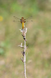 Broad-bodied Chaser, female Royalty Free Stock Photography