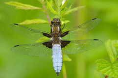 Broad-bodied Chaser. Having a sunbath Stock Photography