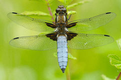 Broad-bodied Chaser. Having a sunbath Royalty Free Stock Photo