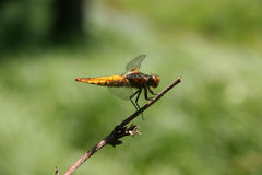 Broad-bodied Chaser (Libellula depressa) Royalty Free Stock Photography
