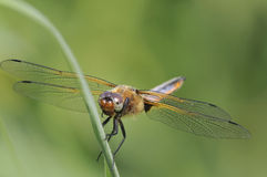 Broad-bodied Chaser - Libellula depressa stock photography