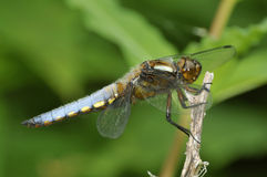 Broad-bodied Chaser - Libellula depressa Stock Photo