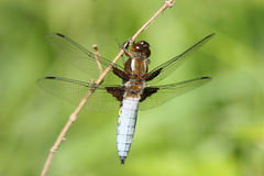 Broad-bodied Chaser (Libellula depressa). Male on a branch Stock Image