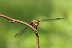 Broad-bodied Chaser (Libellula depressa) Stock Photo