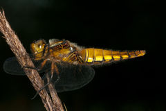 Broad-bodied Chaser (Libellula depressa) Stock Photography