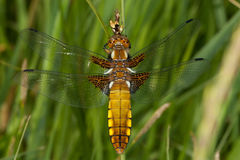 Broad-bodied Chaser (Libellula depressa) stock photos