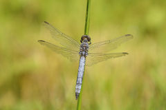 Broad-bodied Chaser (Libellula depressa) Royalty Free Stock Image