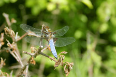Broad-bodied Chaser, Libellula depressa. The Broad-bodied Chaser, Libellula depressa, sits on a dry branch Royalty Free Stock Images