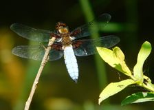 Broad-bodied chaser, Libellula depressa. Perched on a stem Royalty Free Stock Images