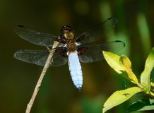 Broad-bodied chaser, Libellula depressa. Perched on a stem Royalty Free Stock Image