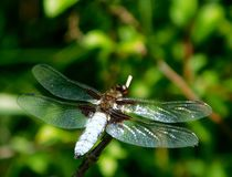 Broad-bodied chaser, Libellula depressa. Perched on a stem Stock Images
