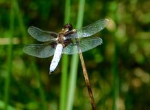 Broad-bodied chaser, Libellula depressa. Perched on a stem Royalty Free Stock Photo