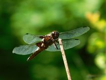 Broad-bodied chaser, Libellula depressa. Perched on a stem Royalty Free Stock Photography