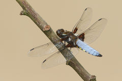 A Broad-bodied Chaser Libellula depressa dragonfly perched on a branch. Stock Photography