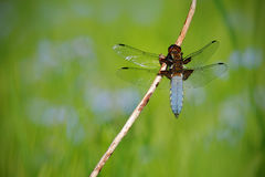 Broad-bodied Chaser, Libellula depressa. Macro picture of dragonfly on the leave. Dragonfly in the nature. Dragonfly in the nature Royalty Free Stock Image