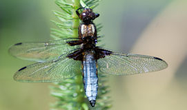 Broad-bodied Chaser. (Libellula depressa), male basking in spring sunshine after an altercation with a bird Stock Photos