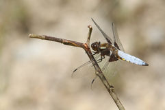 A Broad-bodied Chaser Libellula depressa perched on a twig. Stock Photos