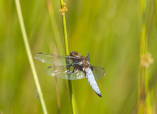 Broad-bodied Chaser. (Libellula depressa) resting on a rush Stock Photography