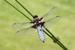Broad-bodied chaser, Libellula depressa Stock Photos