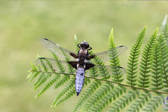 Broad-bodied chaser, Libellula depressa Royalty Free Stock Image
