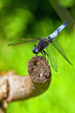 Broad-bodied Chaser - macro shot Stock Images