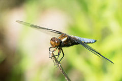 Broad-bodied chaser male. Broad-bodied chaser or darter male dragonfly on a dry on a dry stem Stock Image