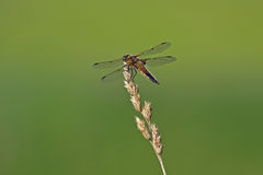 Broad-bodied chaser sitting on the blade. Broad-bodied chaser (Libellula depressa), female Royalty Free Stock Images