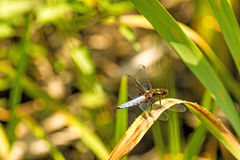Broad-bodied chaser sitting Royalty Free Stock Image