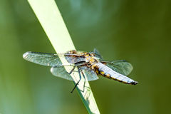 Broad-bodied chaser sitting at a pond Royalty Free Stock Images