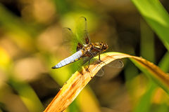 Broad-bodied chaser sitting at a pond Royalty Free Stock Photos