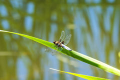 Broad-bodied chaser sitting at a pond Stock Photos