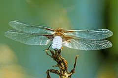 Broad-bodied chaser sitting at a pond, male Royalty Free Stock Images